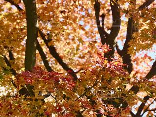 秋色に染まった樹々たちの写真・画像素材[1650279]