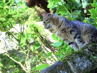 フランスのモンサンミッシェルの城壁で見かけた猫。の写真・画像素材[1776623]