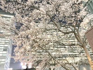 都会のビルの合間で桜の写真・画像素材[1869708]