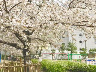 公園の桜の写真・画像素材[1880073]