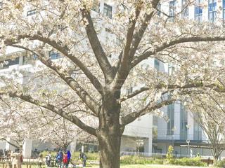 公園の大きな桜の木の写真・画像素材[1884272]