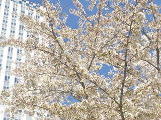 桜とビルと空との写真・画像素材[1884292]