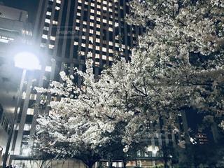夜桜を観に、公園まで散歩して帰るの写真・画像素材[1958188]
