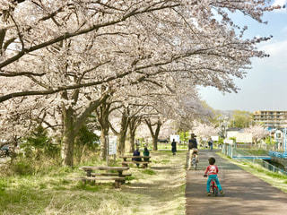 多摩川堤防の桜並木の写真・画像素材[1971042]