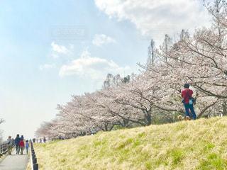 多摩川堤防の桜並木の写真・画像素材[1984699]