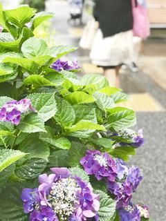 紫陽花の写真・画像素材[2030018]