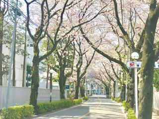 府中市の桜通りの写真・画像素材[2033633]