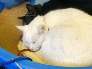 白い猫が寝ているの写真・画像素材[2436726]