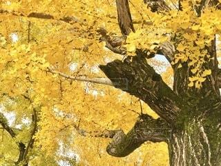 昭和記念公園の銀杏を下から見上げての写真・画像素材[2750760]