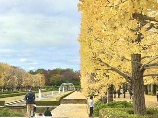 昭和記念公園の銀杏並木の写真・画像素材[2751253]