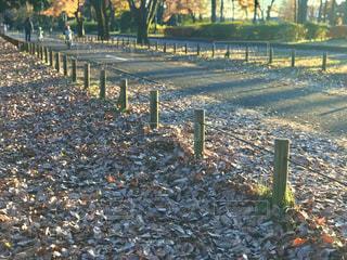 小金井公園の落ち葉の絨毯の写真・画像素材[2787750]