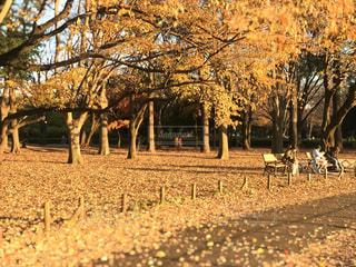 秋の小金井公園のベンチの写真・画像素材[2787752]