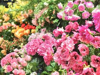 ピンクの花束のクローズアップの写真・画像素材[2954282]