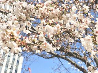 桜の花の写真・画像素材[3049916]