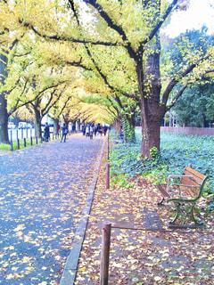 銀杏並木とベンチの写真・画像素材[3180845]