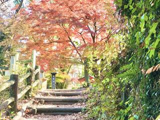 山梨県大月市の観光地、紅葉の猿橋です。の写真・画像素材[3897551]