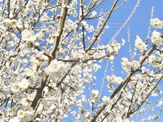 梅の花の写真・画像素材[4190893]
