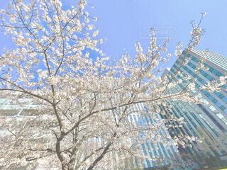 都会のビルの中に咲く桜の写真・画像素材[4271875]