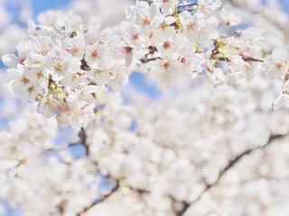 桜の花びらの写真・画像素材[4271878]
