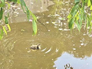 公園の池で泳ぐ鴨赤ちゃんの写真・画像素材[4442578]