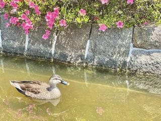 公園の池で泳ぐ鴨の写真・画像素材[4442580]