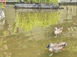 公園の池で泳ぐ鴨の写真・画像素材[4442581]