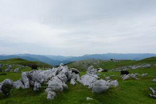 緑豊かな畑で放牧する牛の群れの写真・画像素材[3062823]