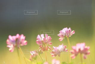 れんげの写真・画像素材[3074752]