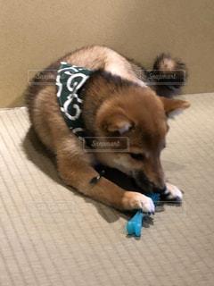 横になってカメラを見ている犬の写真・画像素材[3064196]
