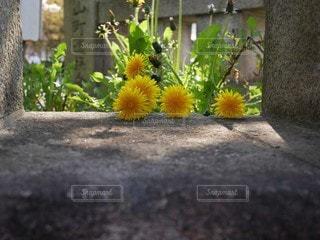穴から覗くたんぽぽの写真・画像素材[3105451]