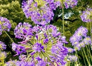 色鮮やかな紫の花に魅せられての写真・画像素材[3818148]