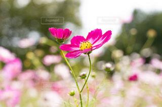 可愛らしいピンクのコスモスの写真・画像素材[3821355]