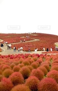 コキアの赤い絨毯の写真・画像素材[3822530]