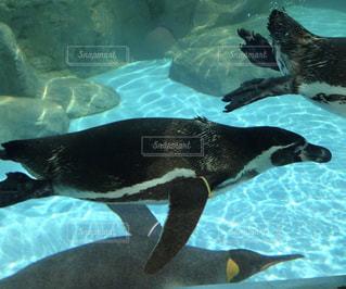 泳ぐペンギンの写真・画像素材[3234007]
