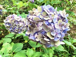 紫陽花の写真・画像素材[3076861]