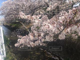 川沿いの桜の写真・画像素材[3076462]