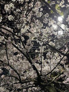 夜桜ライトアップの写真・画像素材[3083163]