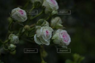 花薔薇の写真・画像素材[3079042]