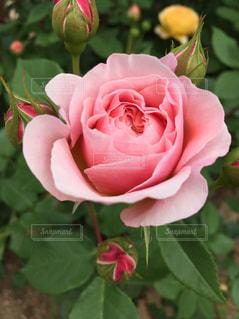 ピンクの薔薇の写真・画像素材[3082425]
