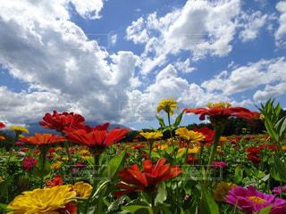 カラカラフルな花と雲と空の写真・画像素材[3091569]
