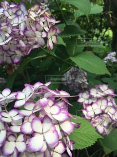白と紫の紫陽花の写真・画像素材[3080263]