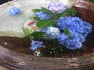 金魚と紫陽花の写真・画像素材[3080273]