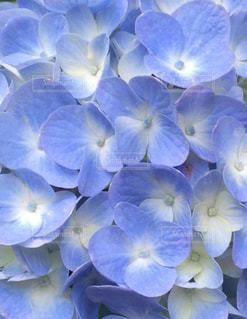 紫陽花の写真・画像素材[3091985]