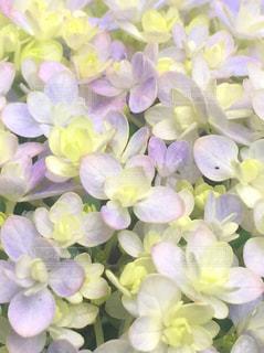 紫陽花 てまりてまりの写真・画像素材[3091999]