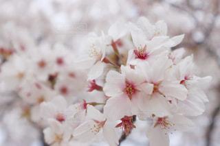 桜の写真・画像素材[3088016]