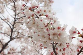 桜の写真・画像素材[3088017]