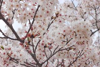 桜の写真・画像素材[3088021]