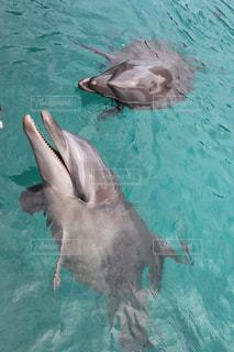 パラオのイルカの写真・画像素材[3090023]