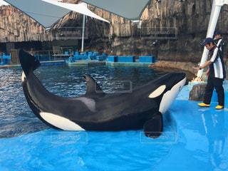 名古屋港水族館のシャチの写真・画像素材[3090214]