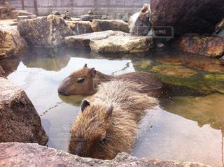 温泉に入るカピバラの写真・画像素材[3090867]